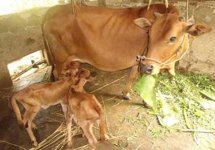 Hướng dẫn Kỹ thuật nuôi bò cái sinh sản