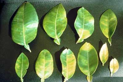 bệnh greening