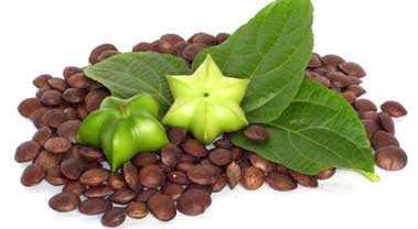 Hướng dẫn quy trình kỹ thuật trồng cây Sachi (Sacha inchi)